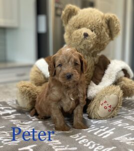 Red Australian Labradoodle with brown bear