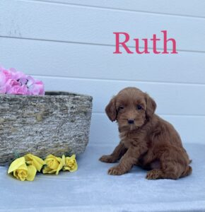 Red Australian Labradoodle with flowers and pot