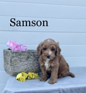 Red with white markings puppy