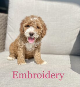Red with white Australian Labradoodle on chair