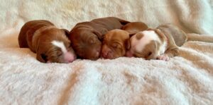 apricot/red/parti pups