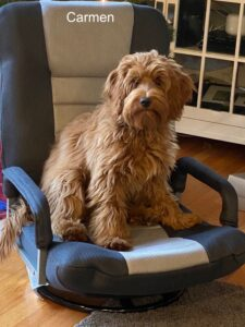APricot/Red Australian Labradoodle in chair