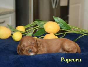 puppy on blue blanket with lemons