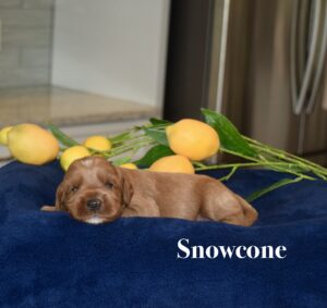 apricot pup on blue blanket with lemons